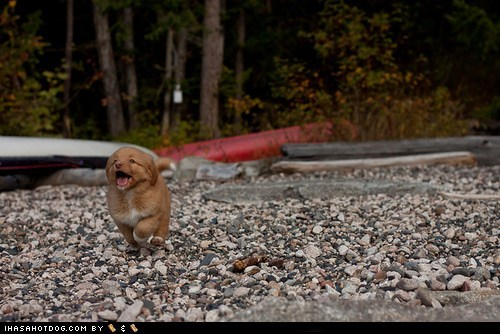 beach,cyoot puppy ob teh day,dogs,duck toller,nova scotia,puppy
