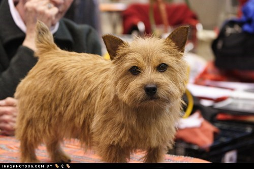 dogs goggie ob teh week norwich terrier ratter - 6545236224