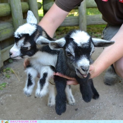 Babies goats handful hugs pygmy goats squee spree - 6545338112