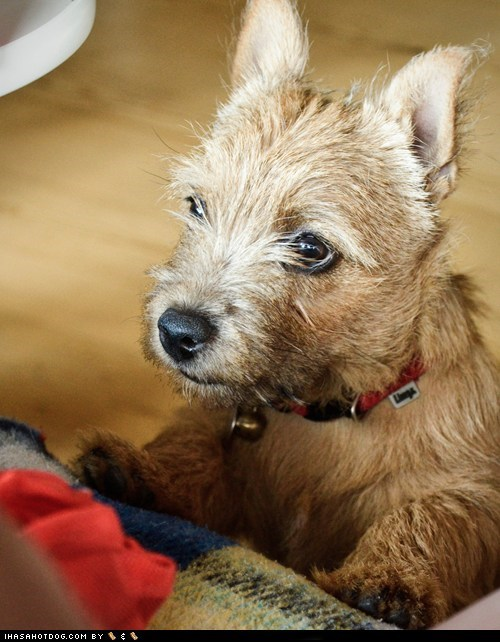 bell,cambridge university,collar,dogs,goggie ob teh week,mascot,norwich terrier,nose