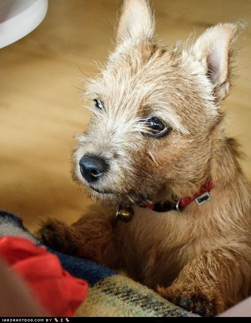 collar goggie ob teh week norwich terrier nose - 6547506176