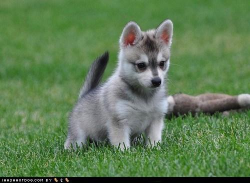 alaskan cyoot puppy ob teh day dogs grass grassy areas Klee Kai puppy - 6547520768