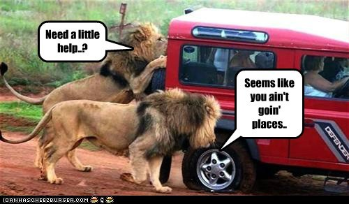car,curious,help,lions,pawing,pushing,stuck
