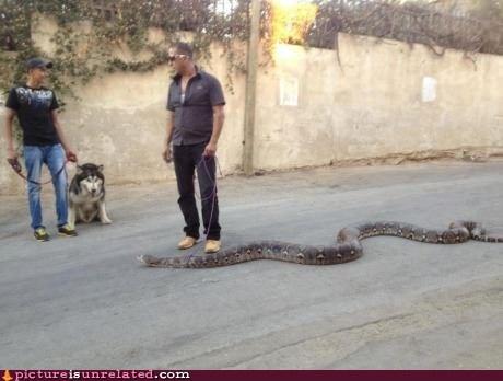 animals snake walking the dog - 6547530496