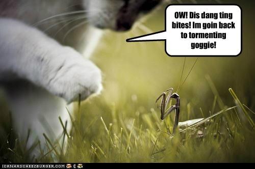 cat goggie ow praying mantis - 6549281536