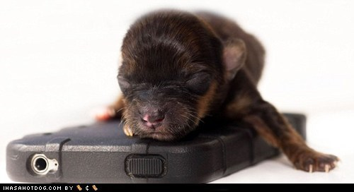 britain,chihuahua,cyoot puppy ob teh day,iphone,puppy,worlds-smallest-thing,yorkie,yorkshire terrier