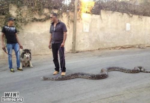 animals pet snake walk - 6550108160