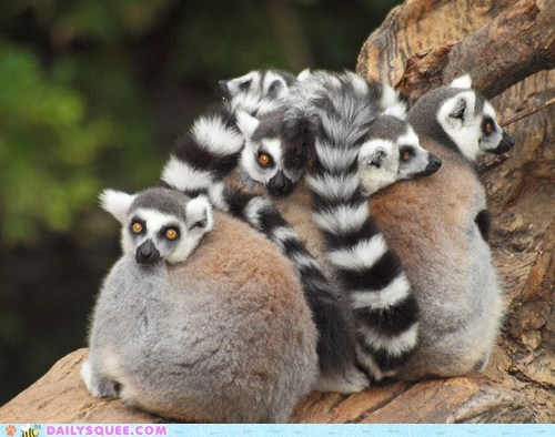 lemur squee ring tailed cuddle puddle Fluffy - 6550171136