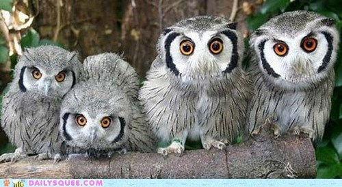 Staring birds owls who curious squee - 6550172672