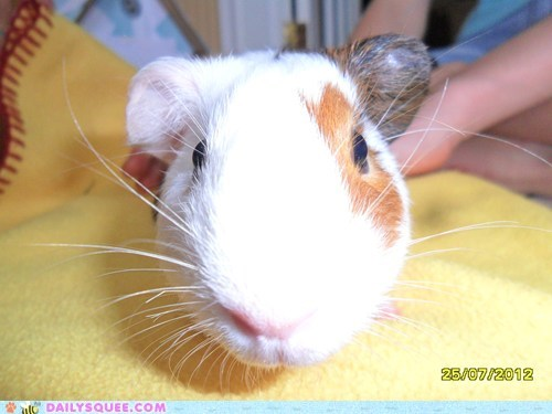 close up guinea pig pet reader squee whiskers - 6550437632