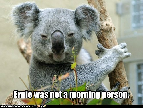 angry,captions,cranky,ernie,koala,morning person,tired