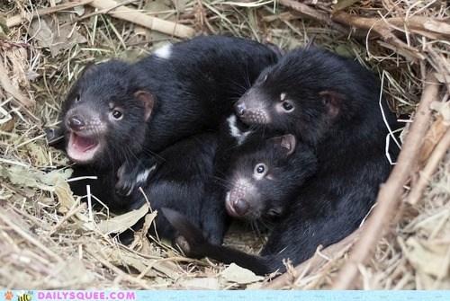 tasmanian devils,joeys,Babies,squee,nest