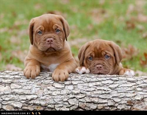 blue eyes cyoot puppy dogs log mastiffs puppy wrinkles - 6552651008