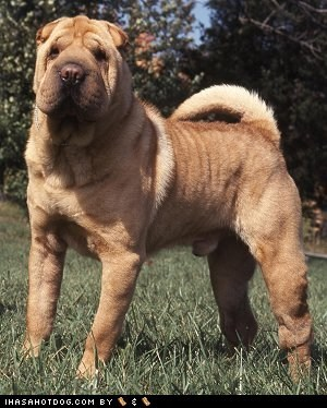 dogs,face off,goggie ob teh week,shar pei,versus