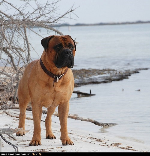 bullmastiff,dogs,face off,goggie ob teh week,versus