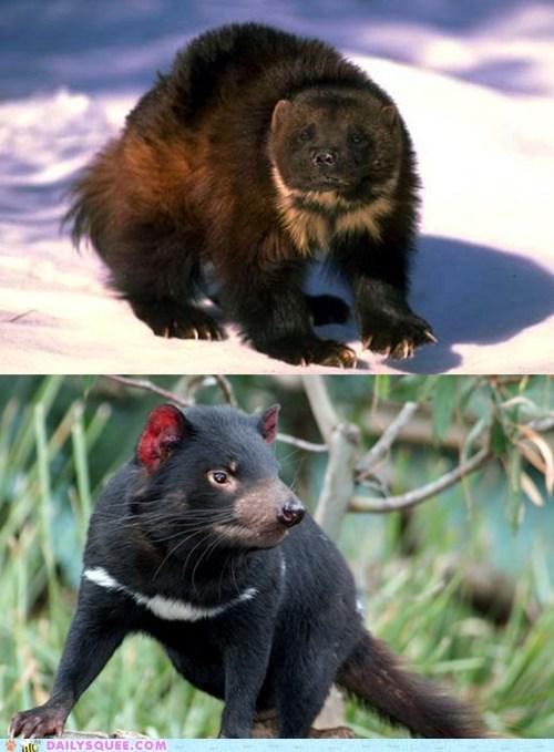face off squee spree Tasmanian Devil versus wolverine - 6552822528