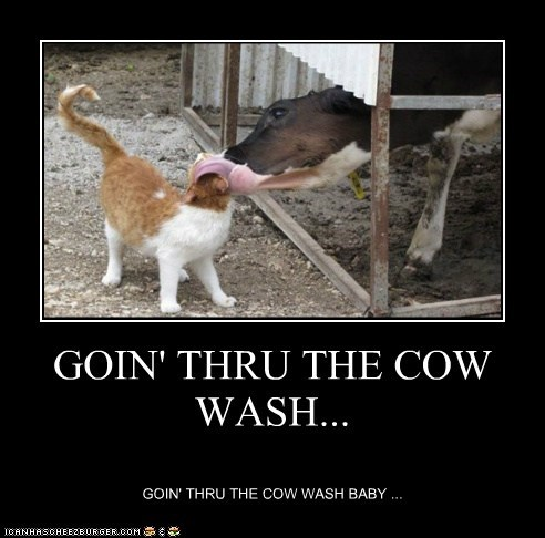 cow wash,car wash,Cats,captions,pun,lick,cow
