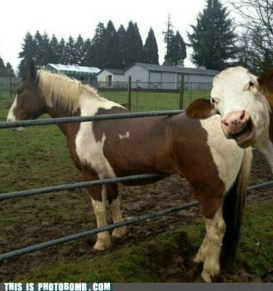 animals cows smirk stuck