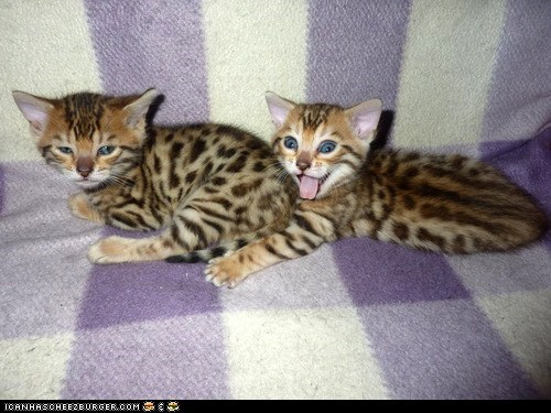 Cats,crazy,cyoot kitteh of teh day,expressions,kitten,mouth open,siblings,tongues,two cats