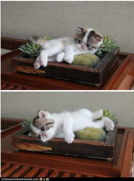 cacti,cactus,Cats,cyoot kitteh of teh day,kitten,multipanel,plants