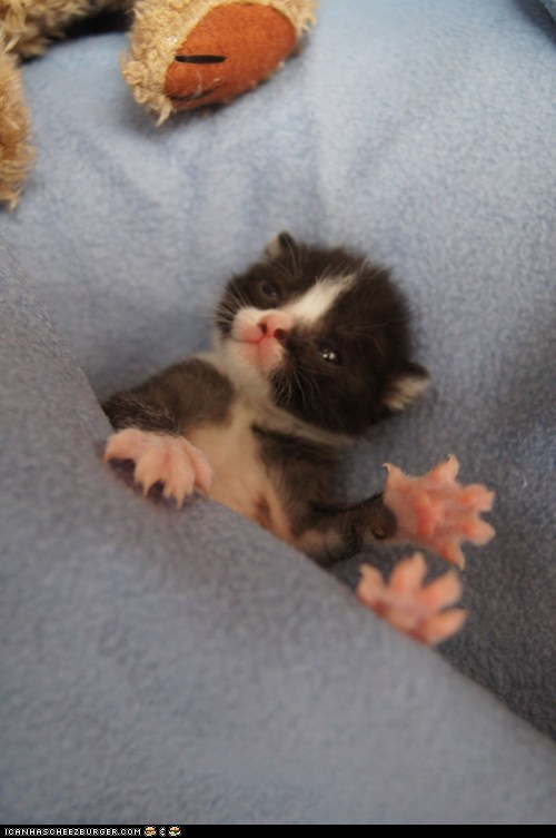 blankets Cats claws cyoot kitteh of teh day kitten newborns paws squee tiny - 6555381504