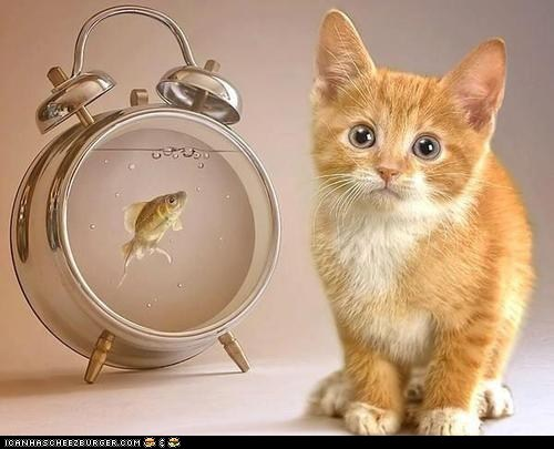 alarm clocks,Cats,clocks,cyoot kitteh of teh day,dinner,fish,hungry,kitten