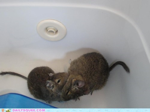 bathtub,degus,friends,grooming,pet,reader squee
