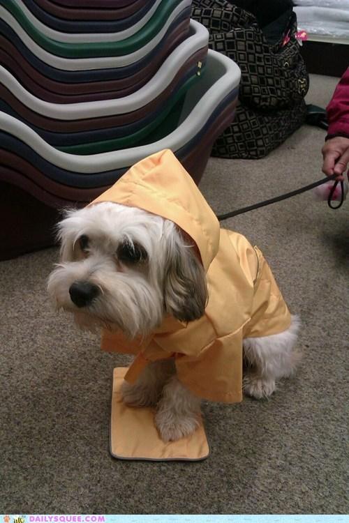 cavachon dogs england pet rain raincoat reader squee - 6556349952