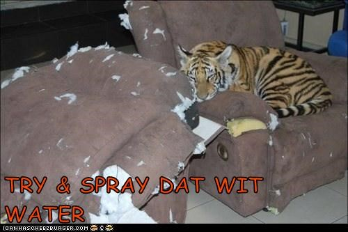 furniture ripped spray tiger torn try it water