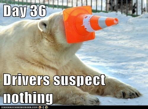 captions,drivers,plan,polar bear,progress,they suspect nothing,traffic cone