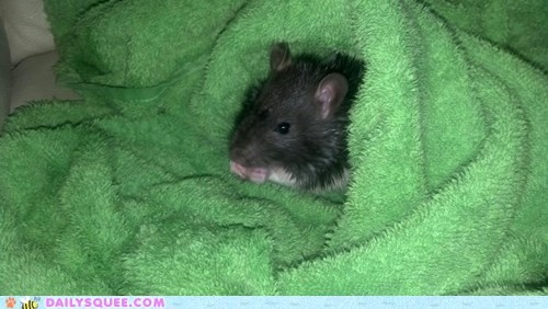 bath,pet,rat,reader squee,snack,towel,wet