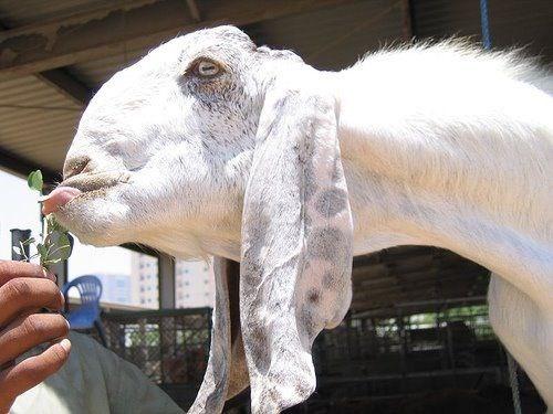 damascus photos goats cute ugly - 6560517
