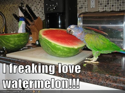 hugging,i freaking love,love,obsessed,parrot,too much,watermelon