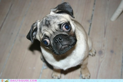 dogs lazy eyes pet pug reader squee squee - 6562792192