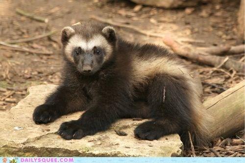 cute dangerous Fluffy squee spree winner wolverine - 6563179264
