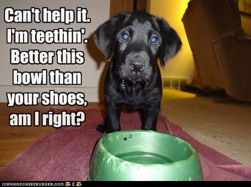 bowl chewing lab puppy shoes teething dogs captions categoryimage