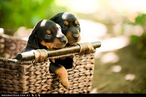 basket cyoot puppy ob teh day dogs german pinscher puppy