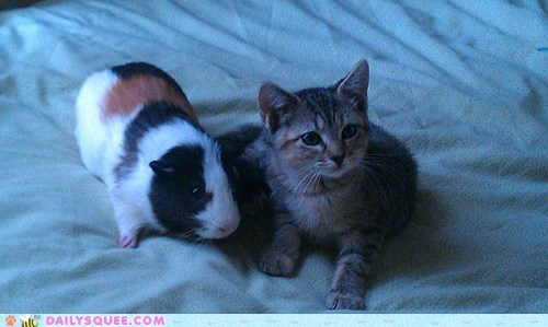 reader squee,pet,guinea pig,cat,Interspecies Love,siblings,family