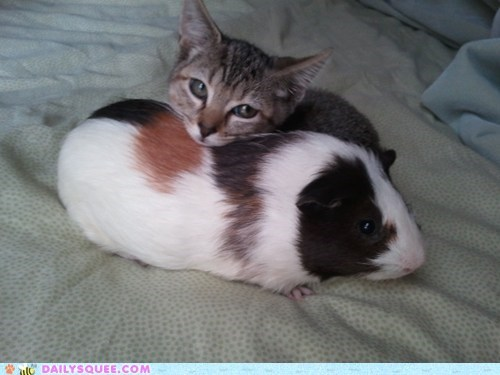 cat,friends,guinea pig,Interspecies Love,pet,reader squee
