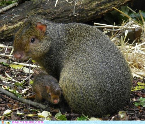 agouti,baby,mommy,rodent,whatsit wednesday