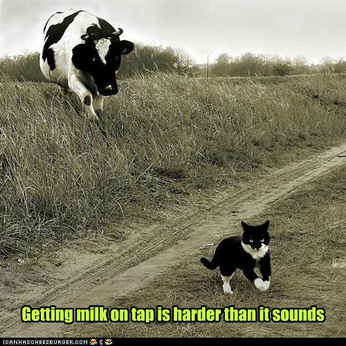 cow cat milk tap hard chasing angry - 6564015104