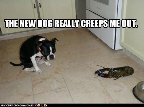 boston terrier,creepy,dogs,lobster,thats-not-a-dog