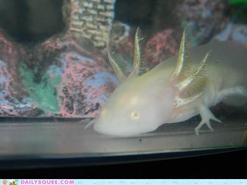 amphibian axolotl creepicute pet reader squee salamander - 6564663296