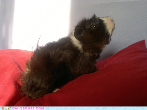 floofy guinea pig mirror pet reader squee squeest