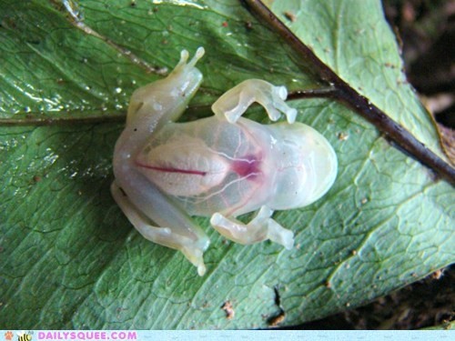 amphibian clear creepicute frog leaf leaf. see through squee - 6565644288