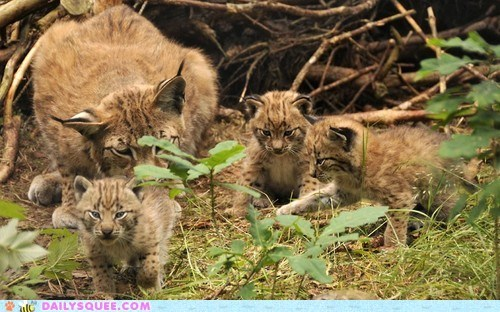Babies,triplets,ears,mommy,cubs,lynx,squee