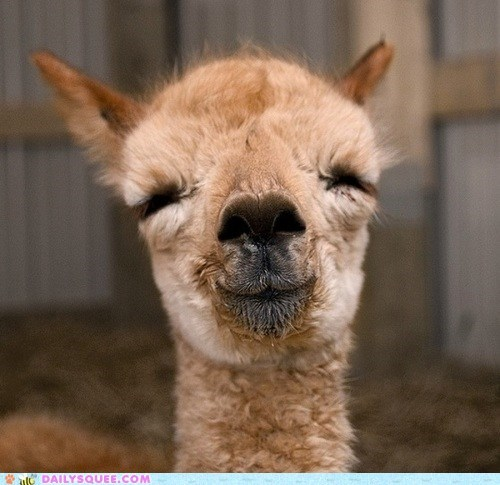 llama Fluffy inner peace smiles squee emoticon - 6565760256