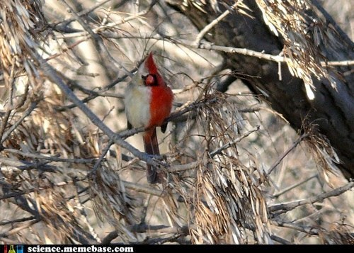 A Gynandromorph Cardinal: One Half Male, the Other Half Female