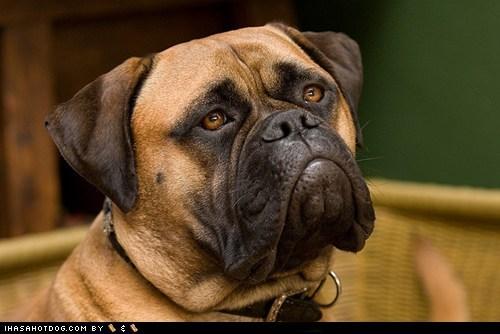 bullmastiff frown goggie ob teh week - 6565890560
