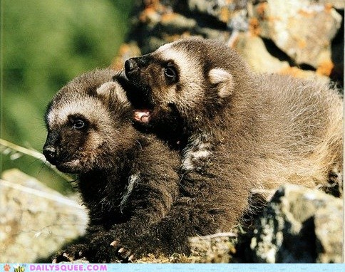 Babies cubs ears secrets squee spree wolverine